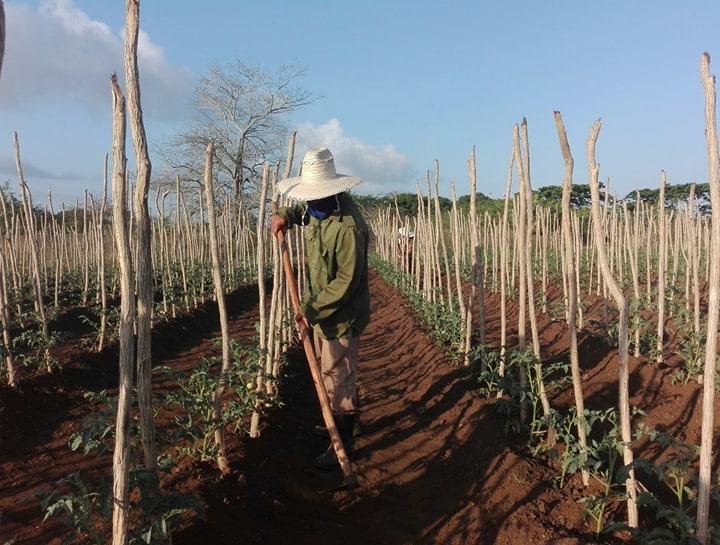 Instan en Camagüey a aprovechar cada pedazo de tierra para producir alimentos