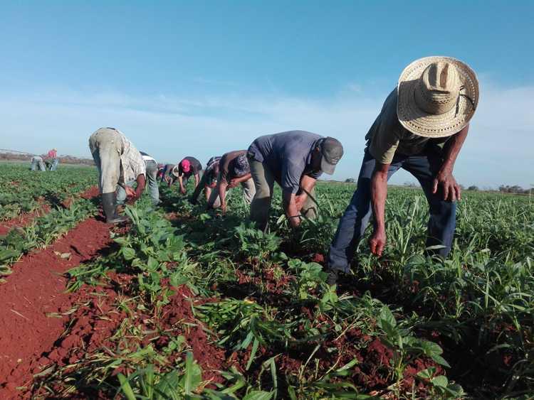 Campesinos camagüeyanos por mayores rendimientos agrícolas durante la actual campaña de frío